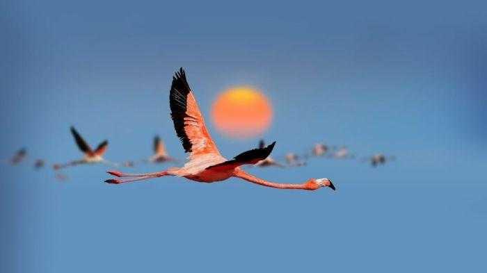 Стая фламинго появилась на Арабатской стрелке