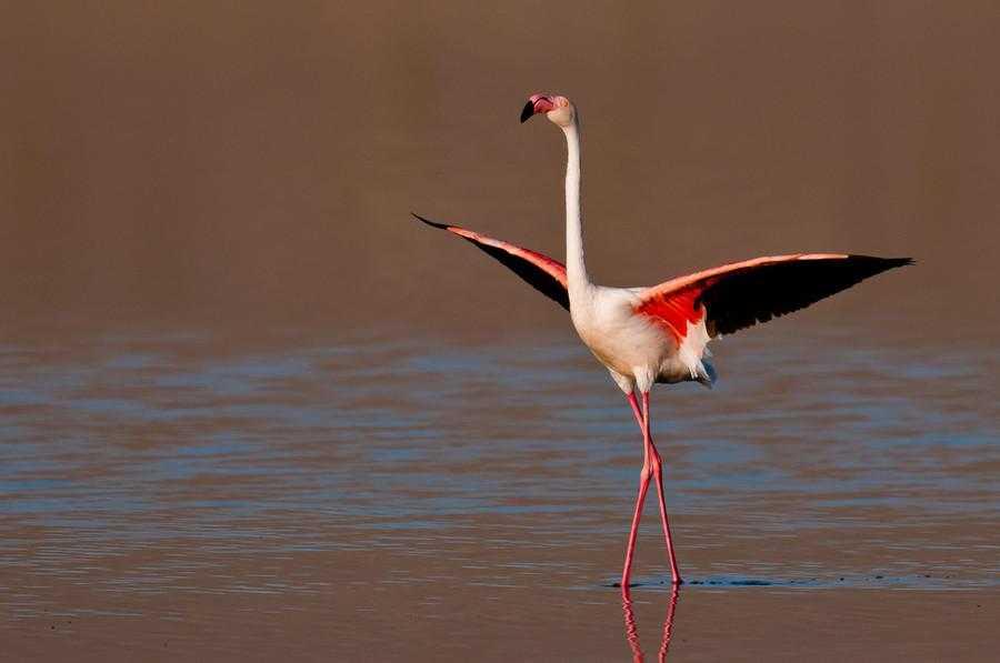 Розовые фламинго вернулись в Сиваш