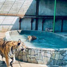 На Арабатской стрелке построили морской бассейн для амурских тигров