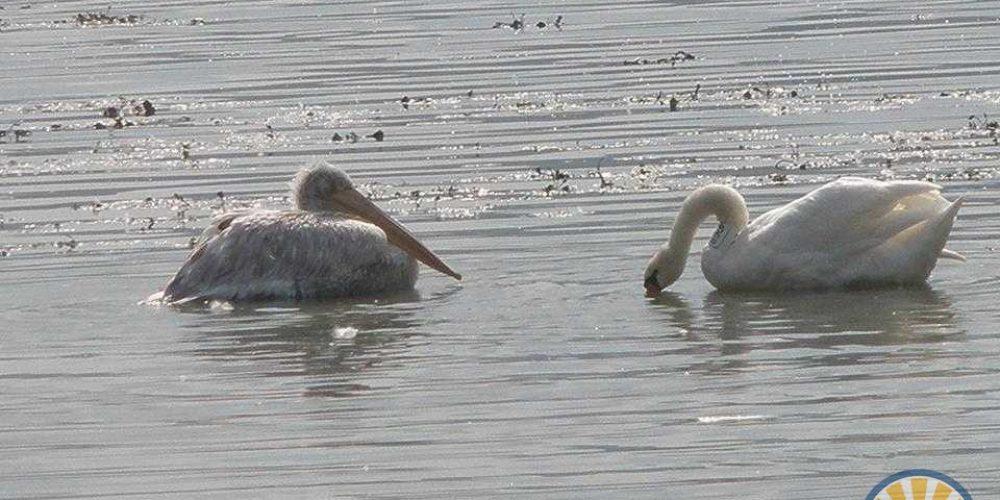 Одинокого пеликана на Арабатской стрелке лебеди приняли в компанию