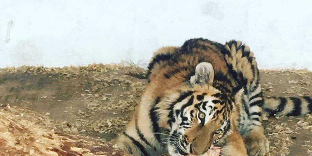 В сафари-парке на Арабатке появился амурский тигр